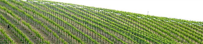 Michaud Vineyard Photo